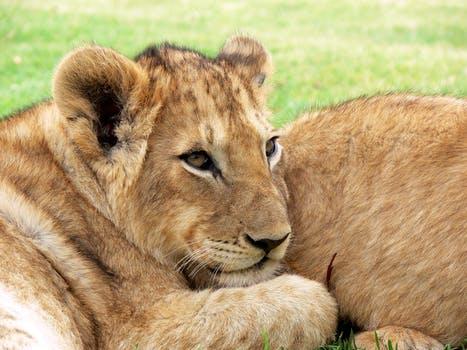 copyright free lion cub